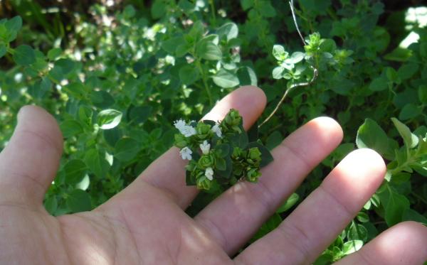 Planta de orégano con flores
