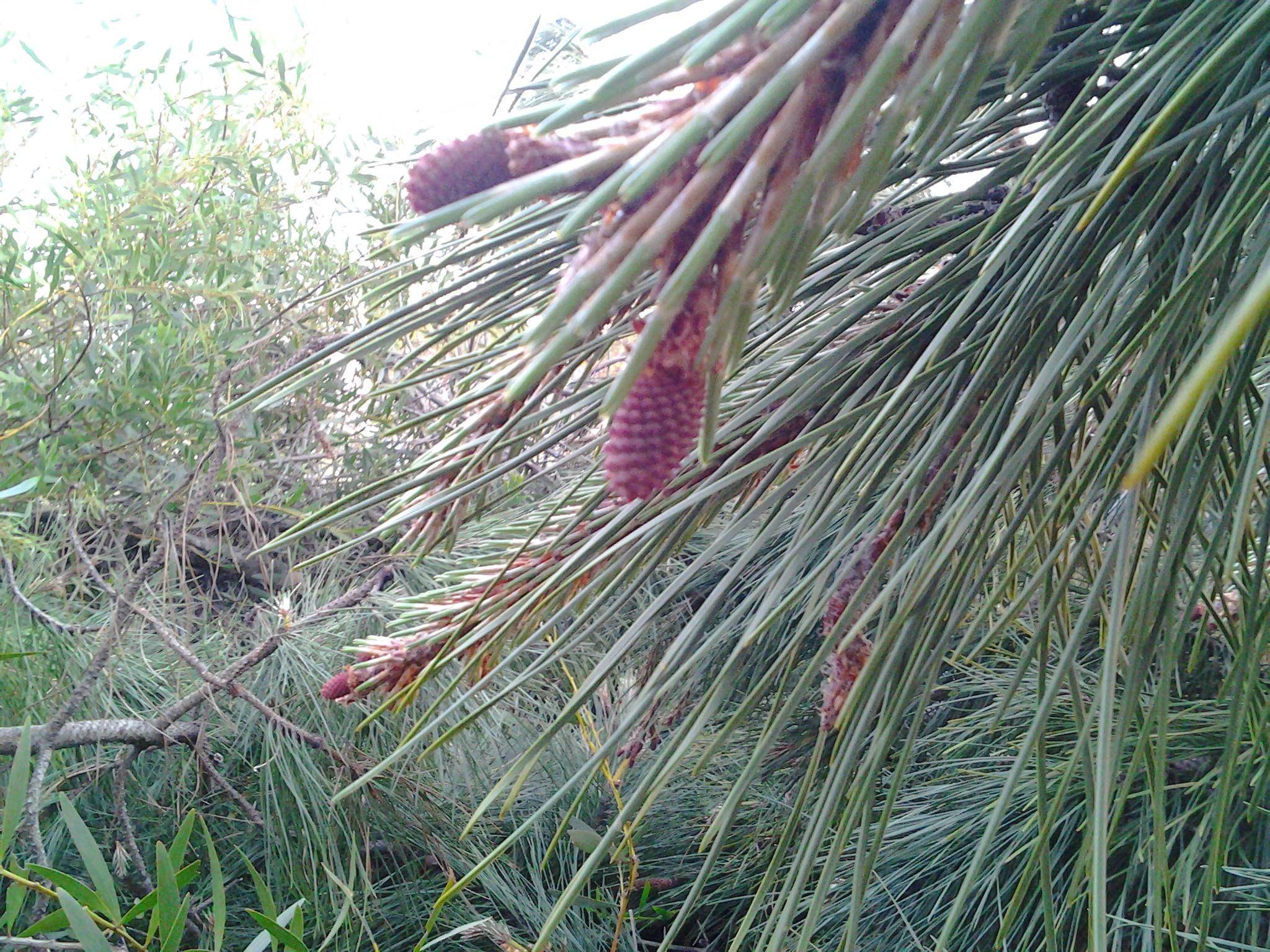 Arbol de pino para hacer cesteria natural