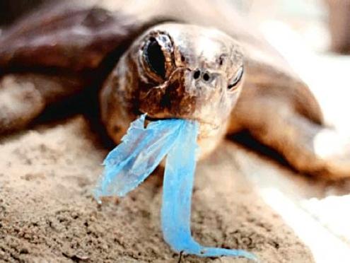 Tortuga marina comiendo una bolsa plastica
