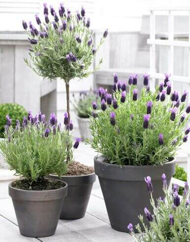 Flores de romero para decorar
